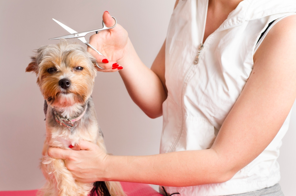 Yorkshire Terrier getting haircut