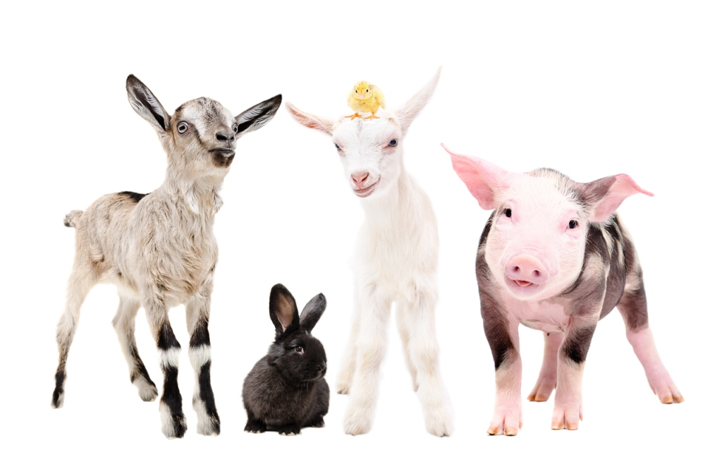 Goat, bunny, goat, baby chicken, pig