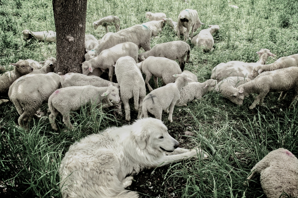 Maremma dog resting with the flock of sheep