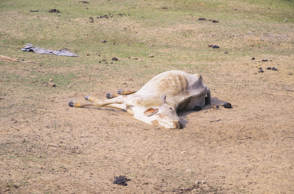 disabled cow dying in field