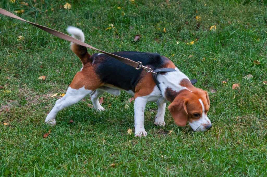 beagle dog standing on the grass