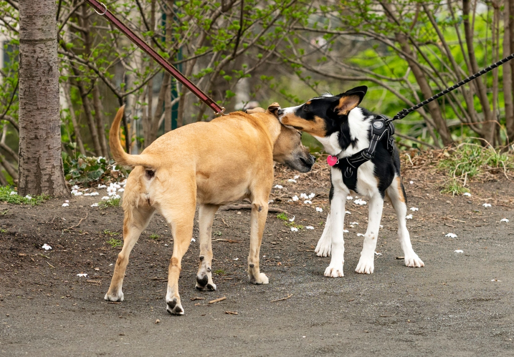 New York, NY, USA - April 4, 2020: A young dog and an old dog sniff each other in greeting as they walk in the park on a spring day.