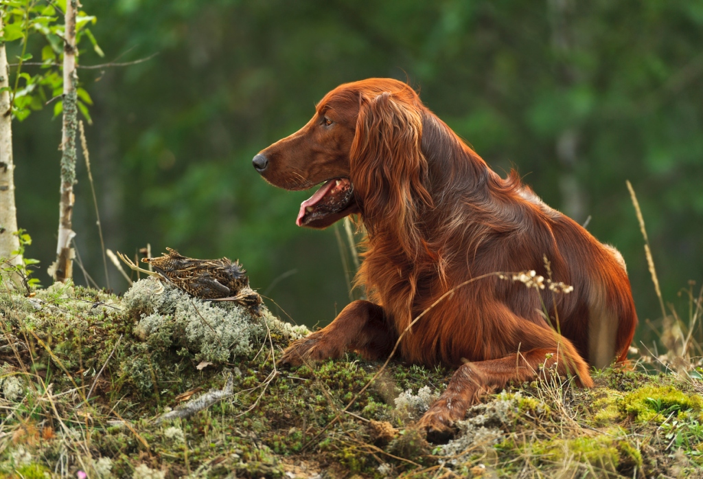 Gun dog irish setter near to trophies, horizontal, outdoors