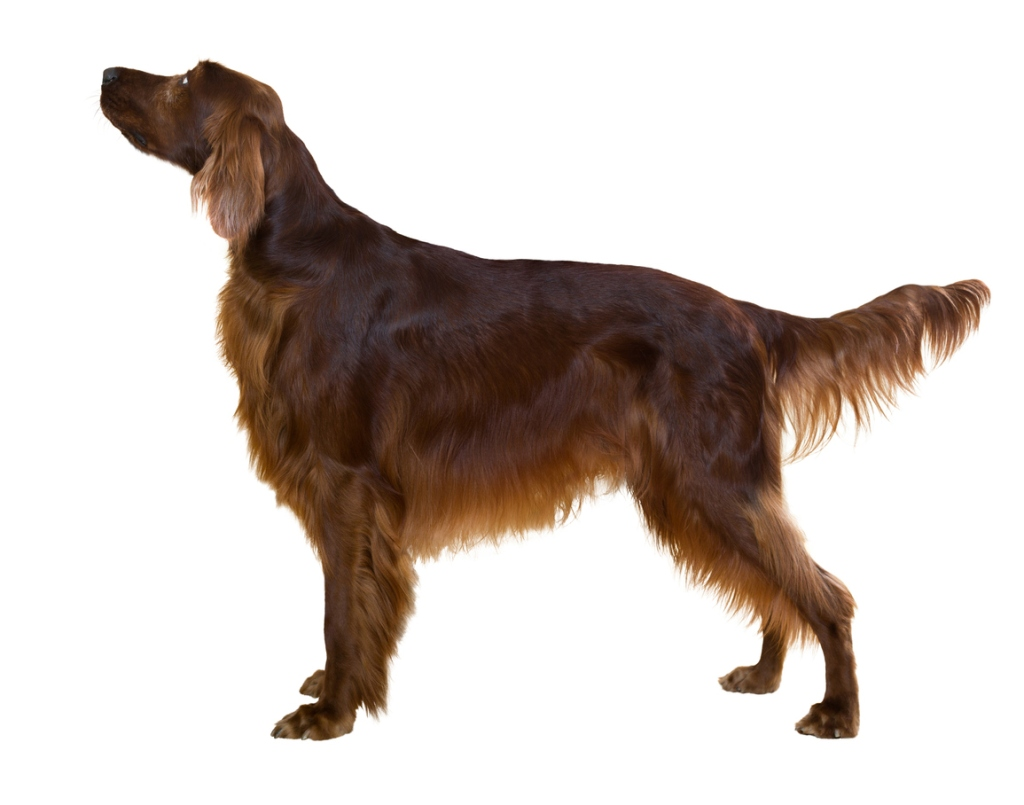 Side view of standing male red irish Setter