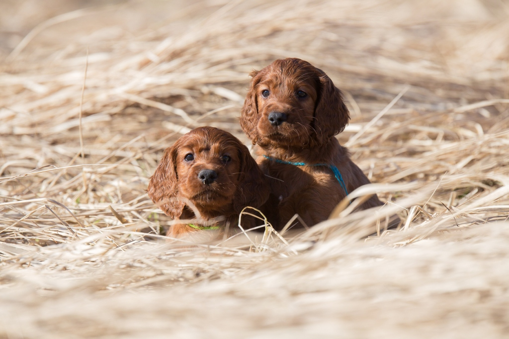 Two irish setter puppies are sitting and waiting